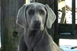 Picture of AKC Weimaraner Male #6 ready on 02.26.16