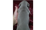 Picture of AKC Weimaraner Female #1 ready on 02.26.16