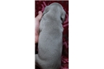 Picture of AKC Weimaraner Female #4 ready on 02.26.16
