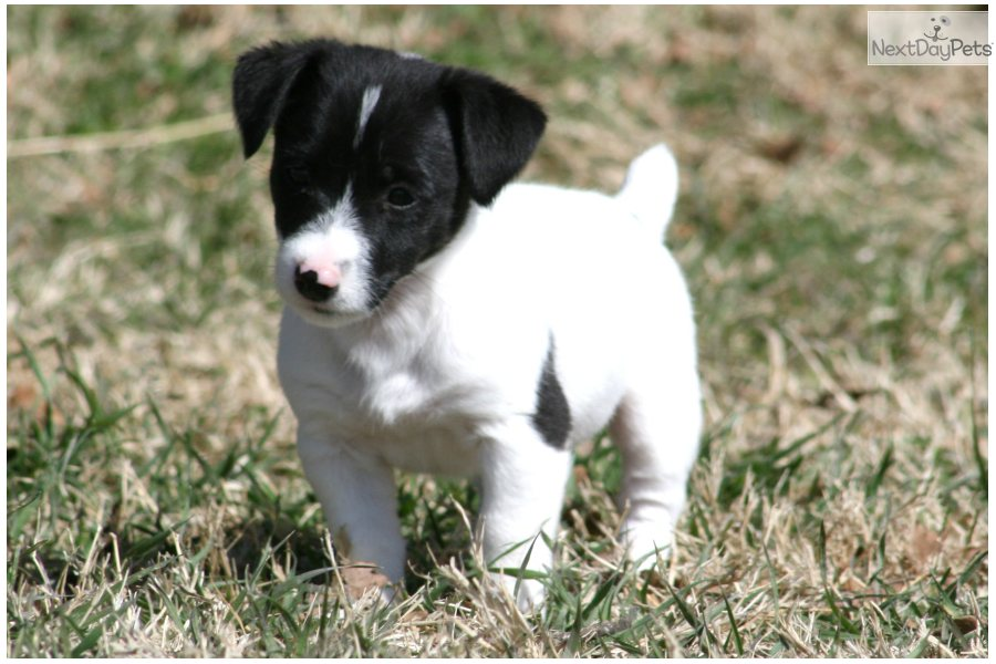 jack russell terrier black and white - photo #36