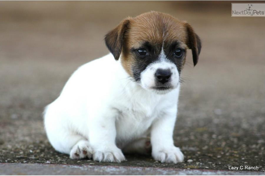 Jack Russell Terrier Short Hair Shorty Jack Russell Terriers
