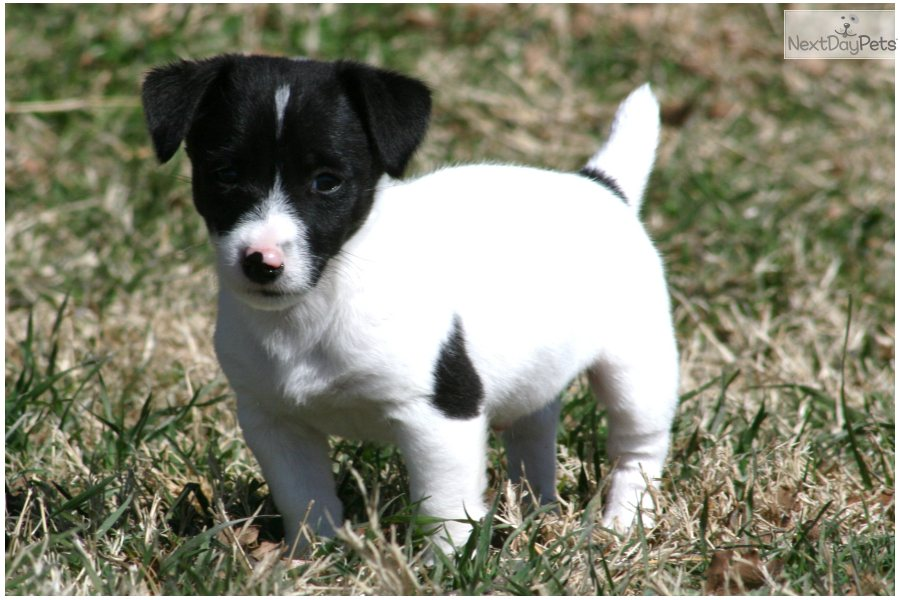 jack russell terrier black and white - photo #17