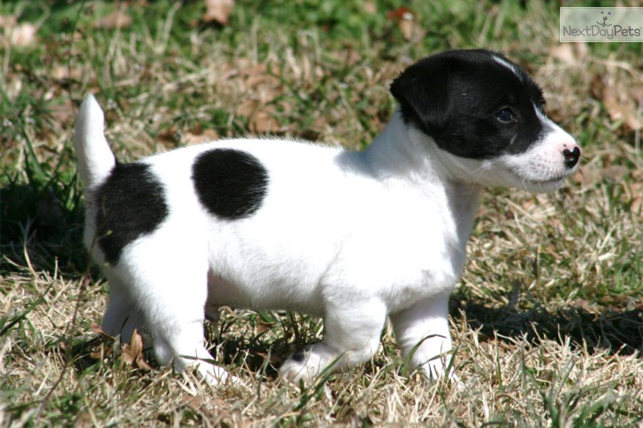 jack russell terrier black and white - photo #13