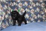 Picture of Wiggles Black W/White Female CKC Havapoo