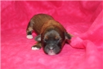 Picture of Windy Brindle W/White Female CKC Havapoo