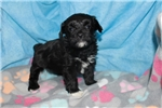 Picture of Diego Gorgeous Black Male Havapoo