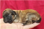 Picture of Whoopie Beautiful Female CKC Havapoo Smallest One
