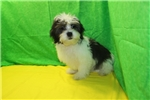 Picture of JUST DISCOUNTED! Reggie Black & White CKC Malshi