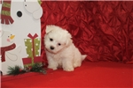 Picture of HAS HOLD Pooch Gorgeous CKC Maltese Christmas Pup