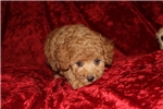 Picture of Discounted! Bruno Red Male Minature CKC Poodle