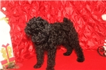 Picture of Lewie Black Male Poodle Discounted For Christmas!