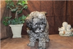 Picture of DISCOUNTED!Faith Female CKC Shihpoo 1st Generation