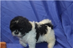 Picture of Oreo Gorgeous Black & White Male Shihpoo!