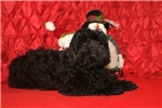 Picture of Christmas Special Luke Skywalker MaleCKC Shihpoo!