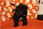 Picture of DISCOUNTED! Chewbacca Male CKC Shihpoo LOVERLUMP!