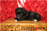 Picture of Pooh Male CKC Shihpoo Smallest Of His Litter
