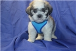 Picture of Snickerdoodles Gorgeous Brindle White Male Shihpoo