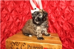 Picture of Piglet Female CKC Shihpoo So Cute!