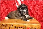 Picture of Tigger Male 1st Generation CKC Shihpoo