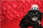 Picture of Bimmer Black Curly Male CKC Shihpoo