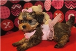 Picture of Giselle Gorgeous Female Shorkipoo Pup