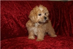 Picture of Triton Specialty Male CKC Shorkie Puppy