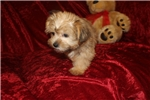 Picture of Prince E Male CKC Shorkie Ready Now & So Cute!