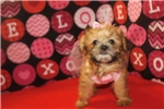 Picture of Maple IsThe Sweetest Female CKC Shorkie Ready 9/15
