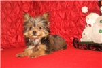 Picture of Scotty Gorgeous Male CKC Shorkie EAW 4.8lbs
