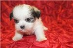 Picture of Robin Hood Male CKC Shorkie