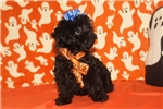 Picture of Phoebe Gorgeous Tiny Black Female Shorkipoo