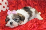 Picture of Lady Isabella Female CKC Shorkie