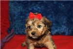Picture of Sunny Female CKC Yorkipoo