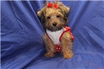 Picture of DISCOUNTED! Sunny Female CKC Yorkipoo