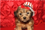 Picture of Sunshine Female CKC Yorkipoo