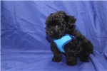 Picture of On Special Aladdin Black Male T-Cup Yorkipoo