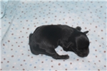 Picture of Einstein  Adorable Male T-Cup Yorkipoo