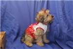 Picture of DISCOUNTED! Sunshine Female CKC Yorkipoo