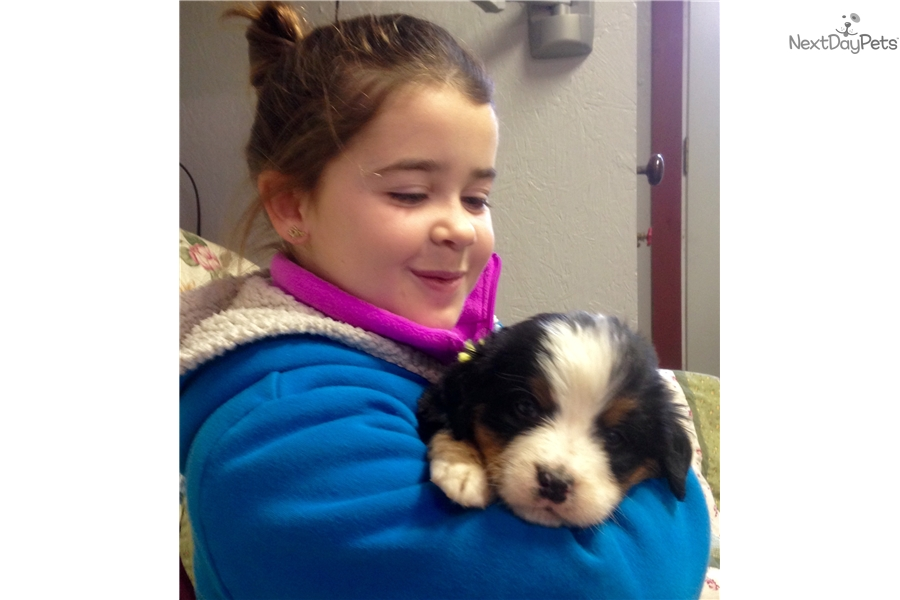 Bernese Mountain Dog Puppies For Sale In Ny