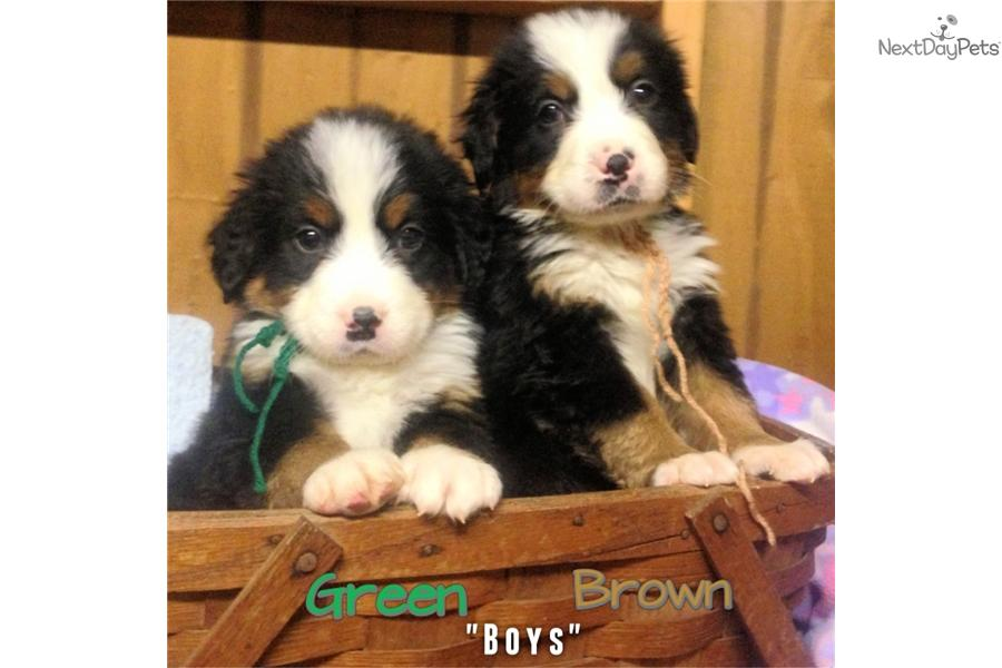 Bernese Mountain Dogs For Sale In Upstate Ny