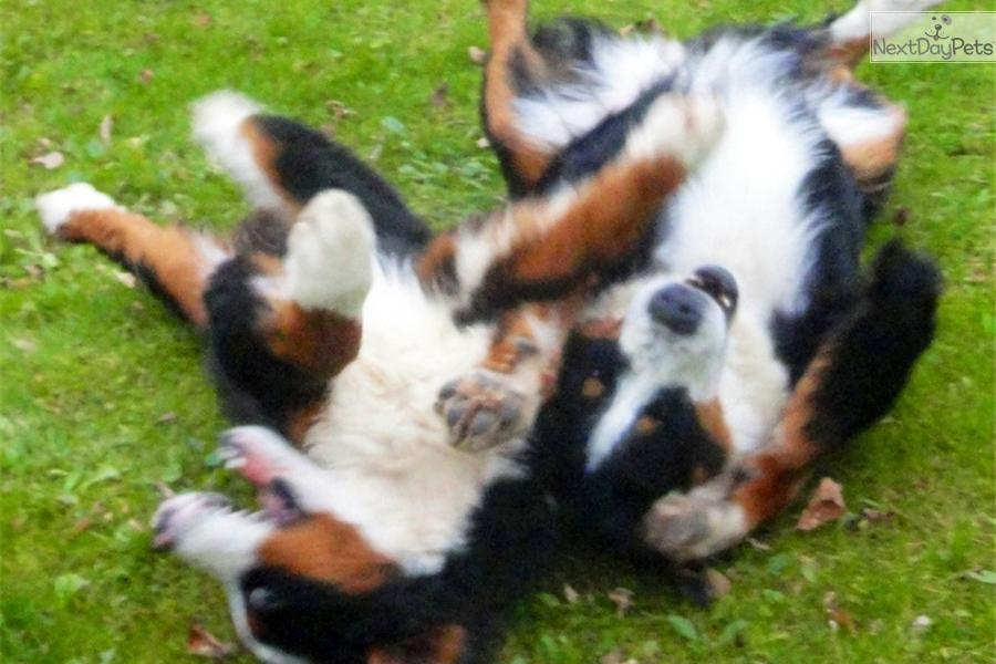 Cute Bernese Mountain Dog Puppies in Snow Cute Bernese Mountain Dog