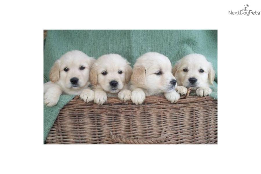 Golden Retriever Puppies for Sale New York