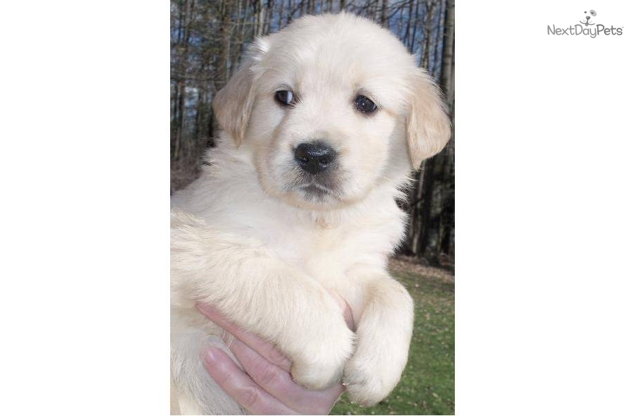 ... puppy for sale for $800. Blonde Golden Retriever Pups Central New York
