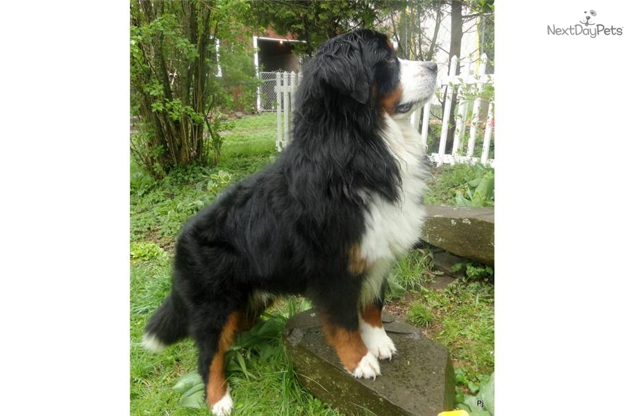 Bernese Mountain Dog puppy for sale near Binghamton, New ... Bernese Mountain Dog Rescue