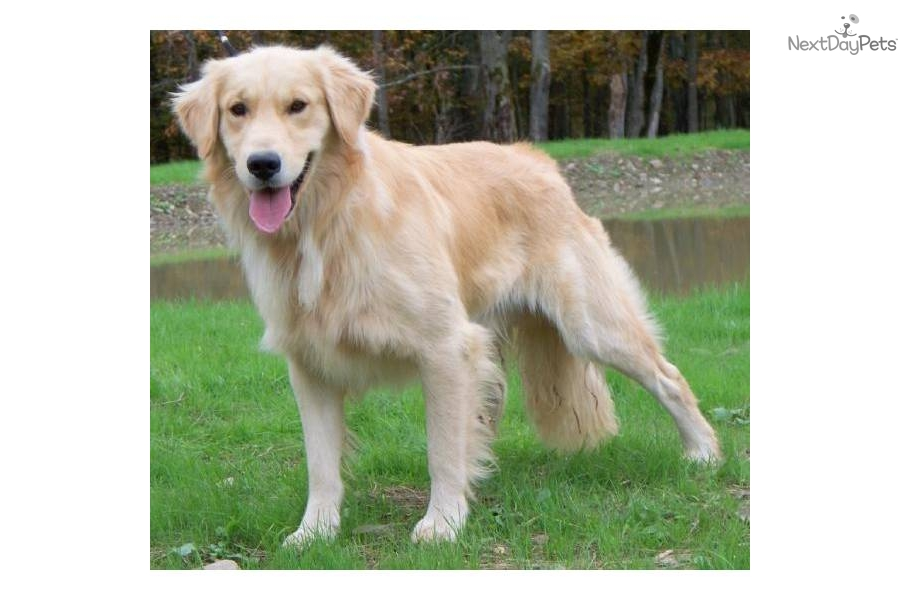 Golden Retriever Puppies For Sale In Westchester New York