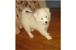Wiggles | Puppy at 8 weeks of age for sale