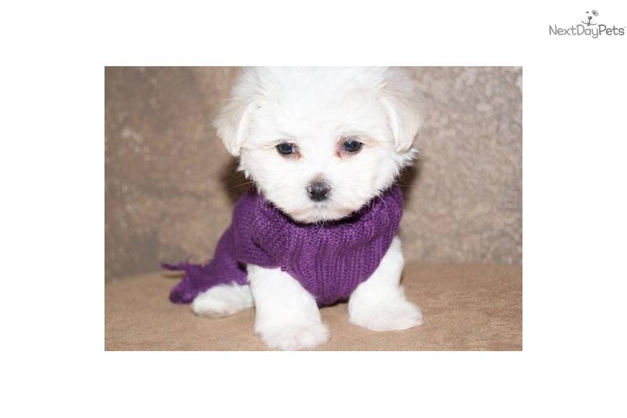 Little Female Maltese   Maltese puppy for sale near Texoma ...