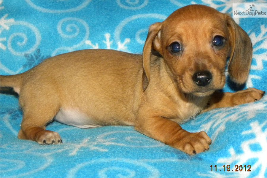 Mini Doxie Puppies Aidan. dachshund, mini puppy