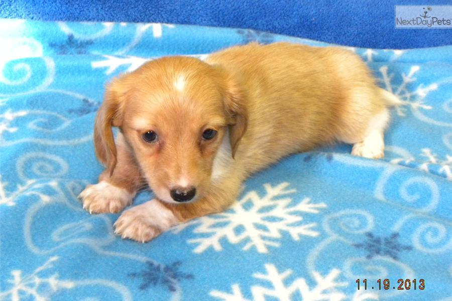 Meet gretchen a cute dachshund mini puppy for sale for 500 cream