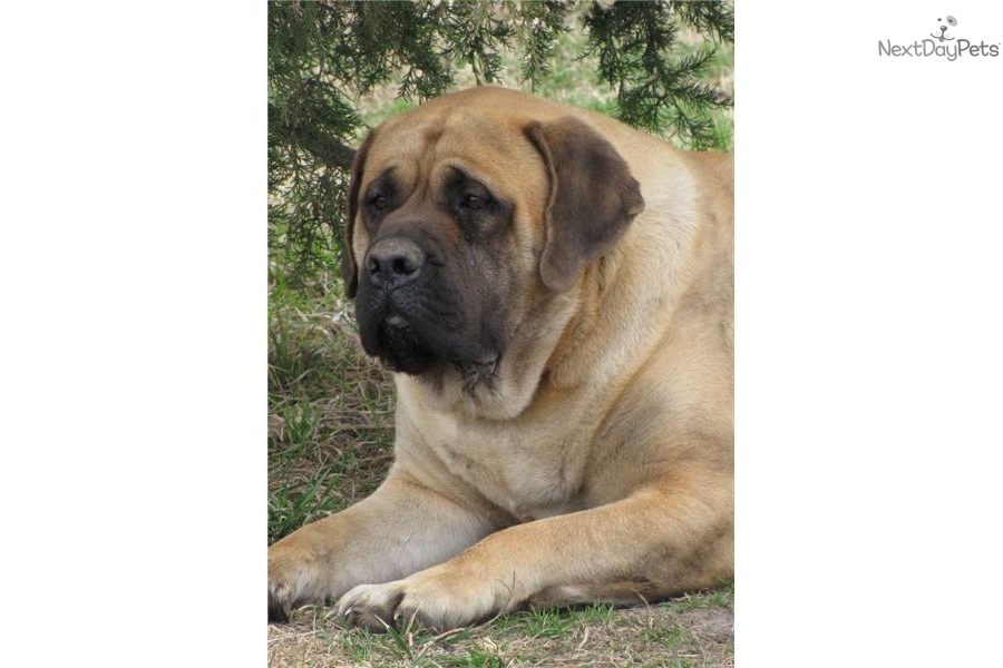 english mastiff puppies for sale no papers Puppyfindercom is your source for finding an ideal mastiff puppy for sale in  usa  we require a $30000 non-refundable deposit to reserve your puppy  which goes toward  8 big beautiful english mastiffs with champion bloodlines  for sale.